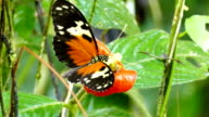 Heliconius Butterfly dipping its proboscis and feeding on bright orange flower video