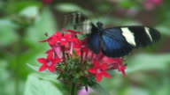 Heliconius butterfly video
