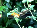 PAL: Heliconius Charitonia video