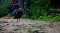 Helmeted guineafowl clean its body video