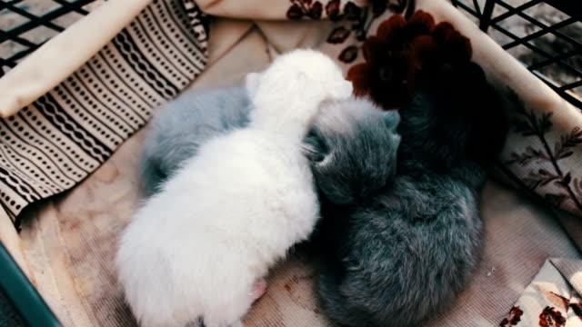 Helpless blind newborn kittens breed British lop-eared in a box video