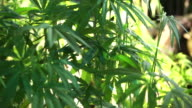 Hemp, Cannabis sativa, similar plant to marijuana but use for agricultural and fibre business video