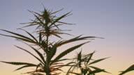 DS Hemp plants against the sky video