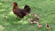 Hen and chicks walking on the grass. video