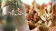 Hen egg, Chicken in farm. clip with environment sound. video