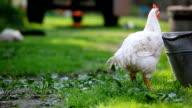 Hens in organic farm video