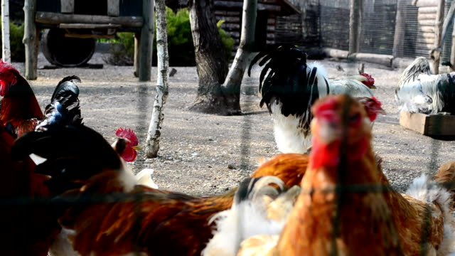 Hens on a farm and roosters video