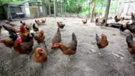 Hens searching for food in organic farm video