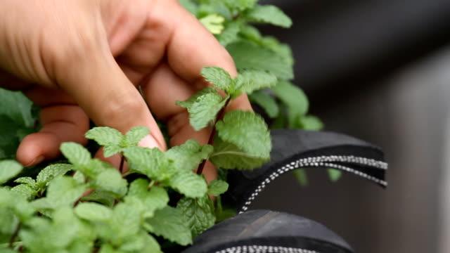 Herbal mint. video