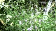 herbal mint video