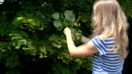 herbalist blond woman pick linden flowers herbs from tree branches. FullHD video