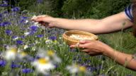 herbalist hands pick daisy flowers between cornflower in summer field. FullHD video