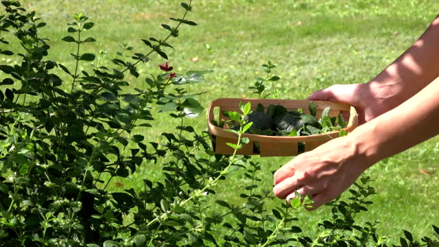 herbalist hands picking mint herb plant leaves to wicker dish in garden. FullHD video