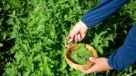 herbalist lemon-balm leaf video