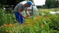 Herbalist man gather marigold calendula herb blooms to wicker dish. video