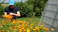 herbalist peasant man gather marigold herb flower blooms video