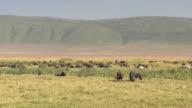 CLOSE UP: Herd of African buffalos resting on sun in lush savannah grassland video