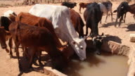 Herd of African cattle drinking from well in Nubian Desert video