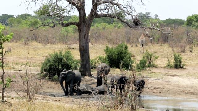 herd of African elephants and giraffes at waterhole video