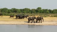Herd of African elephants at waterhole video