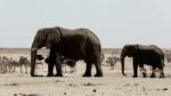 herd of African elephants drinking at a muddy waterhole video