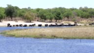 herd of African elephants drinking from river video