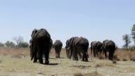 herd of African elephants in african bush going out from waterhole video