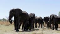 herd of African elephants in african bush video