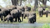 herd of African elephants on waterhole in african bush video