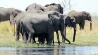 herd of African elephants on waterhole video