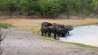 herd of African elephants on waterhole video