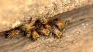 herd of bees on wood video