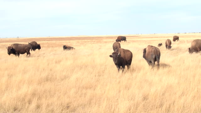 CLOSE UP: Herd of bison bulls grazing on a dry grassland land on sunny day video