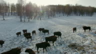 herd of bison grazing in the winter in a mountain gorge video
