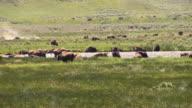 Herd of bison video
