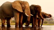 Herd of bull elephants drinking at a river in the Okavango Delta video