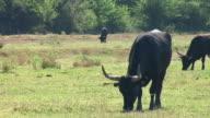 HD: Herd of bulls video