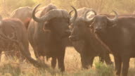 Herd of Cape buffalo looking at camera,Botswana video