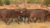 Herd of Cape buffalo stampeding,Botswana video