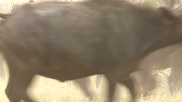 Herd of Cape buffalo stampeding,Botswana video