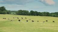 Herd of Cows Grazing in Field video