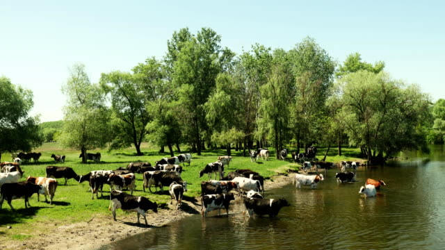 Herd of cows in the river on a watering place video
