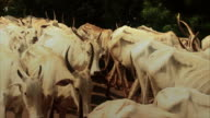 Herd of cows move past in slow motion. video