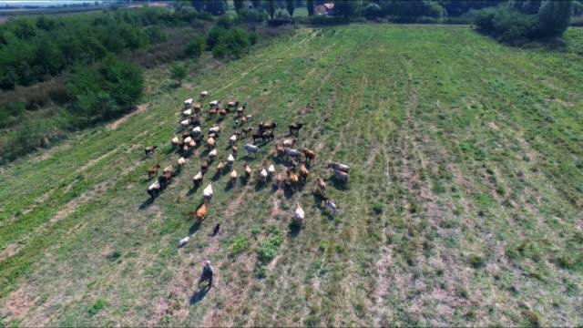 Herd of cows on biodynamic farm video