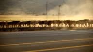 Herd of cows video