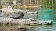 Herd of crocodiles in water video