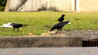 herd of crow eat video