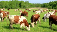 A herd of dairy cows grazing on a green meadow in summer. video