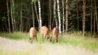 A herd of dappled deer video