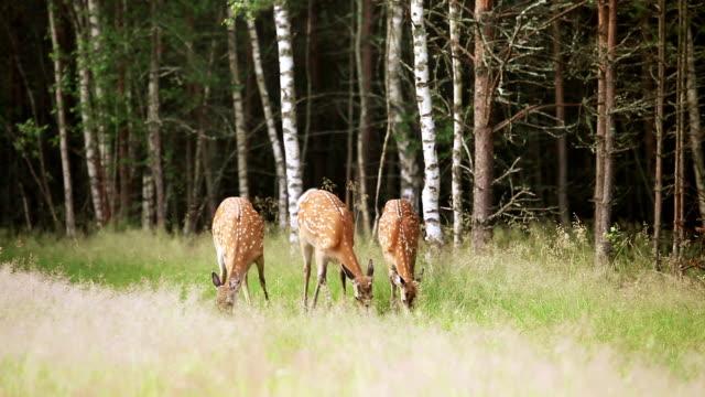 A herd of dappled deer video